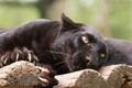 Картинка кошка, взгляд, пантера, когти, черный леопард