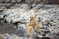 Картинка вода, природа, тигры
