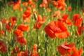 Картинка Poppies, мак, красный