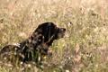 Картинка природа, поле, собака