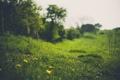 Картинка зелень, трава, цветы, желтые, зеленая