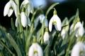 Картинка цветы, природа, весна, подснежники, белые, бутоны