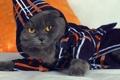 Картинка кошка, взгляд, одежда