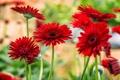 Картинка цветы, яркие, красные, герберы, цветение