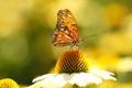 Картинка цветок, бабочка, крылья, лепестки, насекомое, мотылек, эхинацея