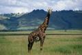 Картинка природа, жираф, шея, giraffe