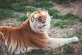 Картинка отдых, хищник, дикая кошка, золотой тигр