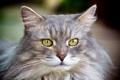 Картинка кошка, взгляд, серая