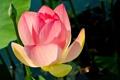 Картинка цветок, листья, лепестки, лотос, водоем
