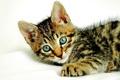 Картинка кошка, глаза, кот, усы, морда, полосы, лапа