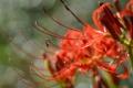 Картинка цветок, макро, красный, radiata, Lycoris