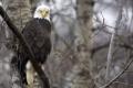 Картинка орел, природа, птица, сокол, дадя вася, дерево