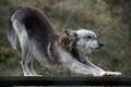 Картинка доски, волк, хищник, тянется
