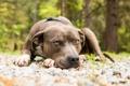 Картинка pitbull, взгляд, собака