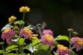 Картинка птица, нектар, колибри, цветы
