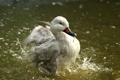 Картинка вода, брызги, птица, всплеск, утка