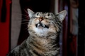Картинка кот, кошак, клыки, котяра