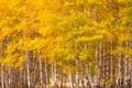 Картинка осень, лес, листья, роща, осина