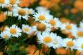 Картинка природа, луг, ромашки, сад, лепестки