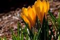 Картинка цветы, оранжевый, весна