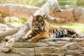 Картинка морда, тигр, отдых, хищник, дикая кошка