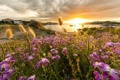 Картинка закат, бухта, побережье, цветы