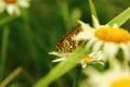 Картинка крылья, Бабочка, ромашка, цветок.