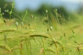 Картинка трава, мак, колосья