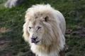 Картинка язык, дикая кошка, морда, хищник, белый лев, грива, портрет