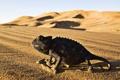 Картинка desert, Iguana, reptile
