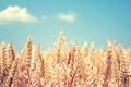 Картинка колоски, колосья, небо, злаки, поле, пшеница