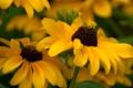 Картинка макро, цветы, природа, жёлтый, фото, фон