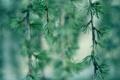 Картинка макро, иголки, ветки, дерево, хвоя
