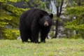 Картинка лес, чёрный медведь, барибал, медведь