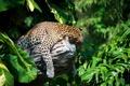 Картинка тропики, отдых, листва, хищник, леопард