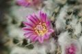 Картинка розовый, цветок, пух, кактус, колючки