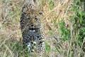 Картинка морда, заросли, хищник, леопард, прогулка, дикая кошка, кустарник
