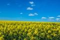 Картинка поле, небо, облака, цветы, рапс