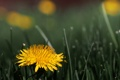 Картинка Dandelion, Taraxacum officinale, flower