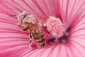Картинка природа, цветок, пчела, макро, пыльца