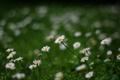 Картинка зелень, лето, трава, цветы, природа, поляна, ромашки