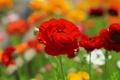 Картинка поле, цветок, цветы, красный, мак