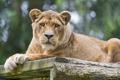 Картинка ©Tambako The Jaguar, львица, взгляд, кошка