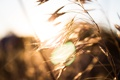Картинка солнце, природа, колосья