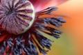 Картинка цветок, мак, тычинки, коробочка