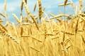 Картинка поле, небо, солнце, природа, колоски, день, зерновые