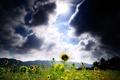 Картинка поле, солнце, подсолнухи, тучи