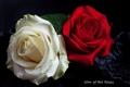 Картинка розы, лепестки, бутоны
