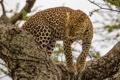 Картинка засада, хищник, на дереве, леопард