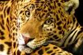 Картинка кошка, Jaguar, большая